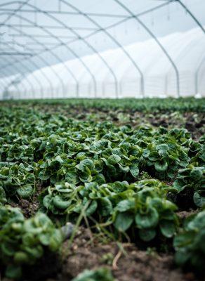 crops growing in greenhouse