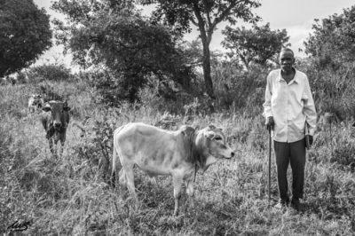 an elder with cows on an international project trip